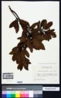 Elaeocarpus sylvestris image