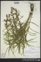 Liatris cylindracea image
