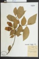Calycanthus nanus image