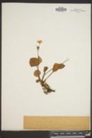 Claytonia asarifolia image