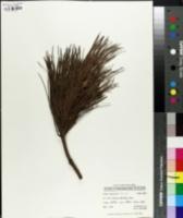 Image of Pinus herrerai
