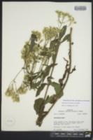 Eupatorium sullivaniae image