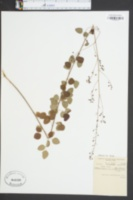 Image of Meibomia marilandica