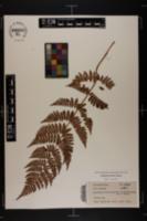 Image of Aspidium cristatum