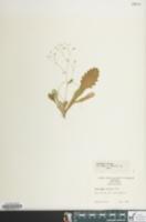 Image of Micranthes careyana