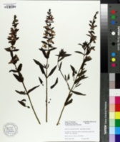 Image of Angelonia angustifolia