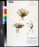 Scleranthus perennis image