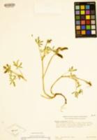 Lupinus pachylobus image
