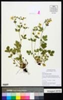 Drymocallis glabrata image