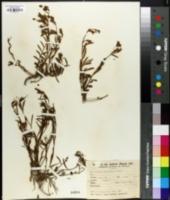 Nierembergia aristata image