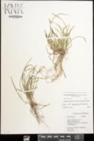 Carex cumberlandensis image