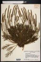 Image of Plantago coronopus