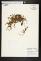 Image of Stellaria parva
