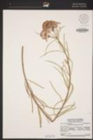 Asclepias fascicularis image