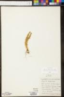 Lycopodium porophilum image