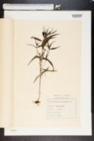 Image of Melampyrum pratense