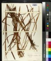 Image of Schizachyrium scabriflorum