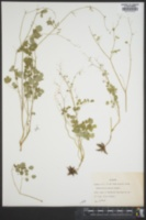 Thalictrum debile image