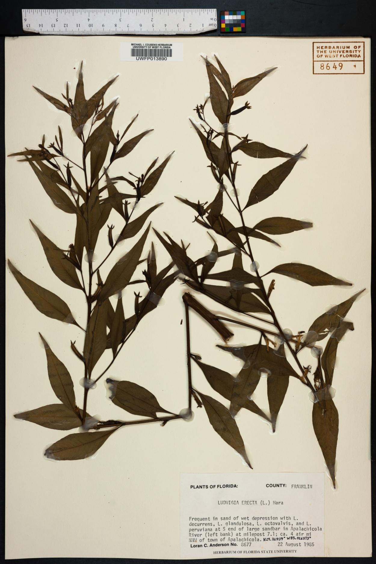 Ludwigia erecta image