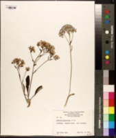 Image of Dampiera eriocephala