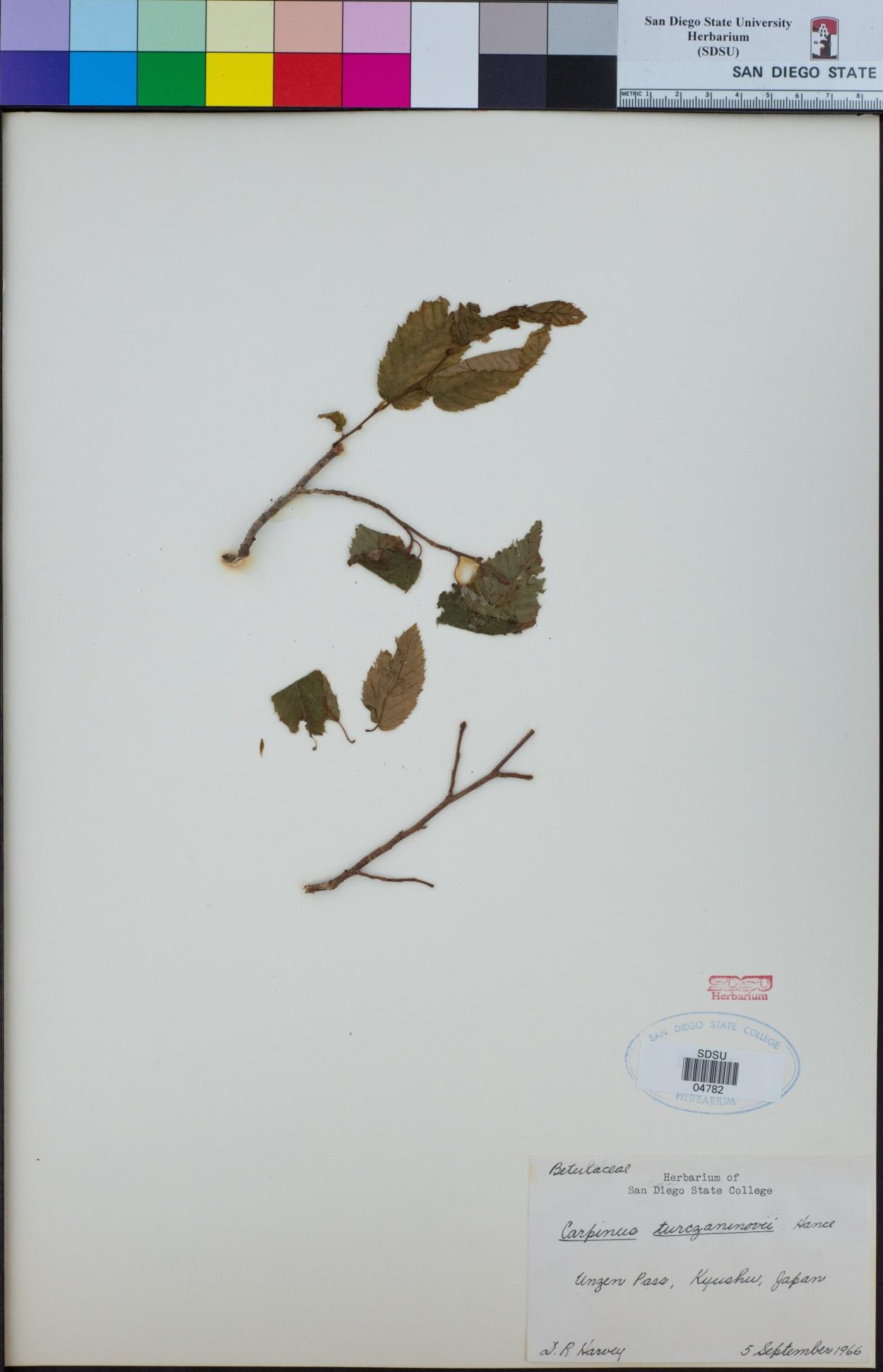 Carpinus turczaninovii image