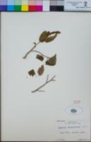 Image of Carpinus turczaninovii