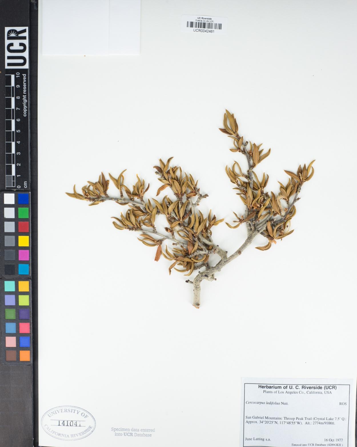 Cercocarpus image