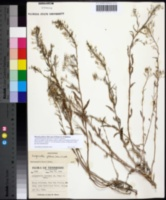 Image of Physaria globosa