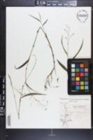 Image of Tripogandra guerrerensis