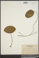 Image of Brasenia peltata