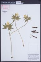 Anemone ranunculoides image