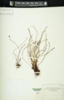 Schizaea malaccana var. robustior image