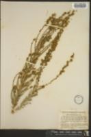 Image of Hemizonia virgata