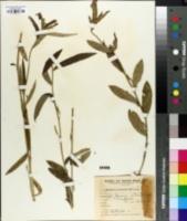 Image of Bernardia multicaulis