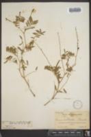 Image of Cracca corallicola