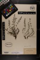 Asplenium dentatum image