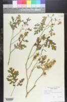 Image of Solanum laciniatum