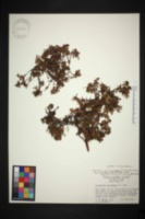 Image of Kalmia procumbens