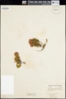 Phyllodoce breweri image
