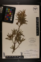 Image of Podocarpus macrophylla