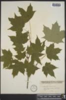 Acer saccharum var. saccharum image