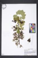 Ribes rubrum image