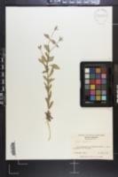 Petunia x atkinsiana image