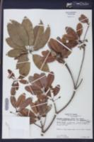 Image of Manilkara bahamensis