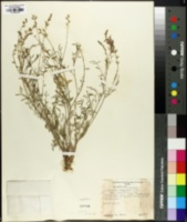 Astragalus dodgianus image