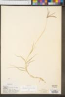 Cynodon dactylon image