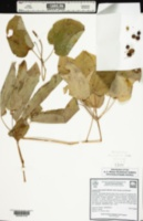 Image of Smilax biltmoreana