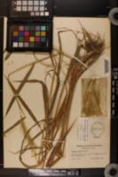 Hystrix patula image
