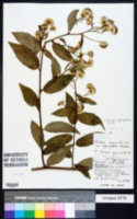 Image of Blumea megacephala