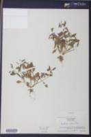 Image of Gratiola lutea